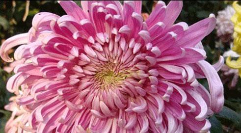 Changsha Captures Awards at 10th China Chrysanthemum Exhibition