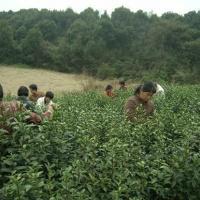 Hangzhou Longjing Tea Plantation