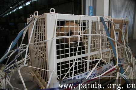 Panda xingbang comes to Chengdu