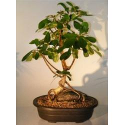 China ficus microcarpa mini bonsai trees (Nursery) on sale