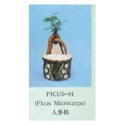 China Ginseng Ficus Retusa on sale