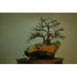 China woody plants indoor plants (Ficus microcarpa bonzai) on sale