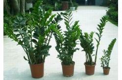 Planta jade for Planta del dinero feng shui