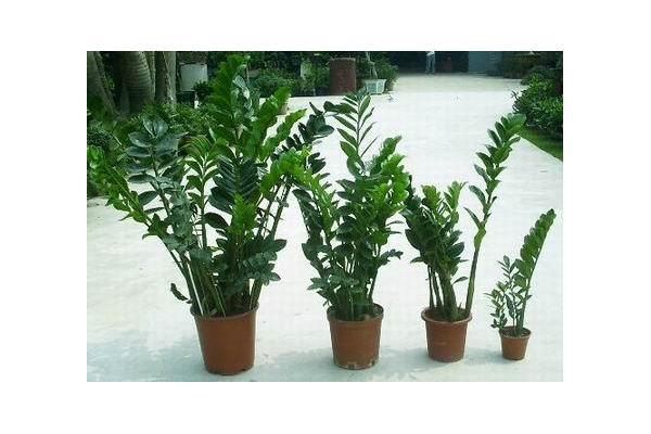5 bonsais trenzados de pachira planta del jade fotos del - Planta china del dinero ...