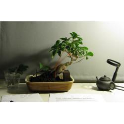 China Grafted indoor ficus mini bonsai tree on sale