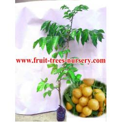 Fruit tree fruit tree manufacturers and suppliers at - Fruit trees every type weather area ...