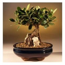 China Ficus indoor mini plant(Un-grafted) on sale