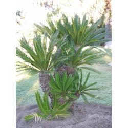 China Outdoor landscaping (Cycas trees plants) on sale