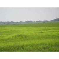Bentazone 95% TC/herbicides/Ochre-yellow solid