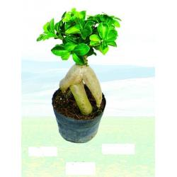 China Ginseng ficus (easy indoor potted plants) on sale