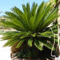 China Large Gardening Natural Cycas Revoluta bonsai tree on sale