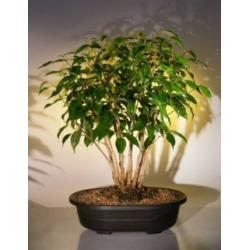 China Large bonsai Outdoor plant (Ficus Mircocarpa tree) on sale