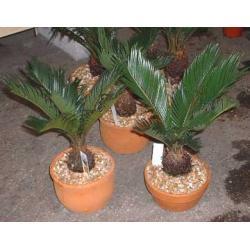 China indoor landscape (Cycas revoluta bonsai trees) on sale