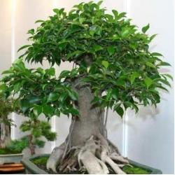 China Without Leaves Ficus ginseng bonzai (Mini Plants) on sale