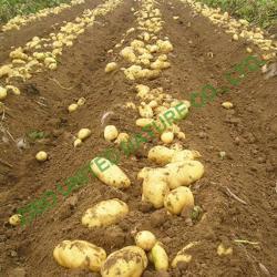 China new potato, hot sale Fresh potato, 80-250g on sale
