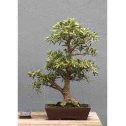 China Ficus microcarpa mini bonsai Nursery on sale