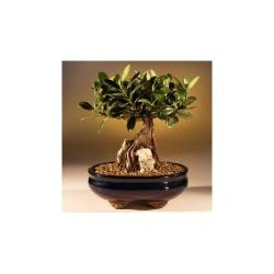 China Ficus microcarpa indoor mini plants bonsai on sale