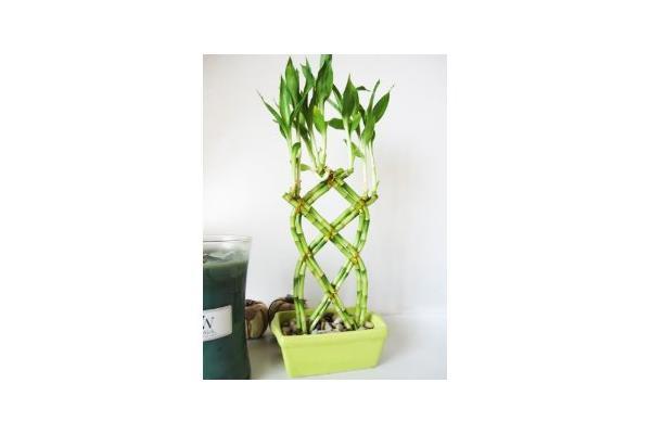 Bambou chanceux de dracaena tress usines d 39 int rieur de for Bambou interieur
