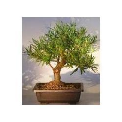China Landscaping--Podocarpus Bonsai Tree on sale