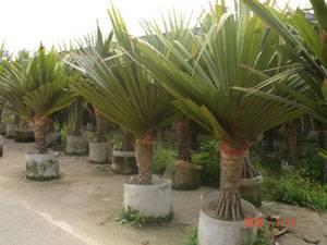 Pandanus Utilis For Sale Bonsai Manufacturer From China