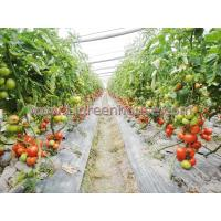 Agriculture Greenhouse for tomato