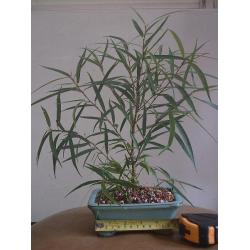 China Bare rooted Ficus ginseng bonzai (Mini Plants) on sale